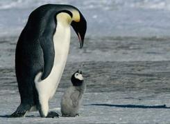 En la era del hielo, frío diezmó pingüinos emperadores de la Antártida